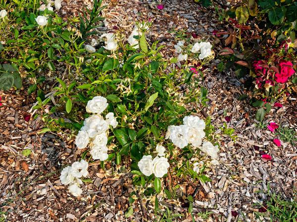 Roses-8.jpeg