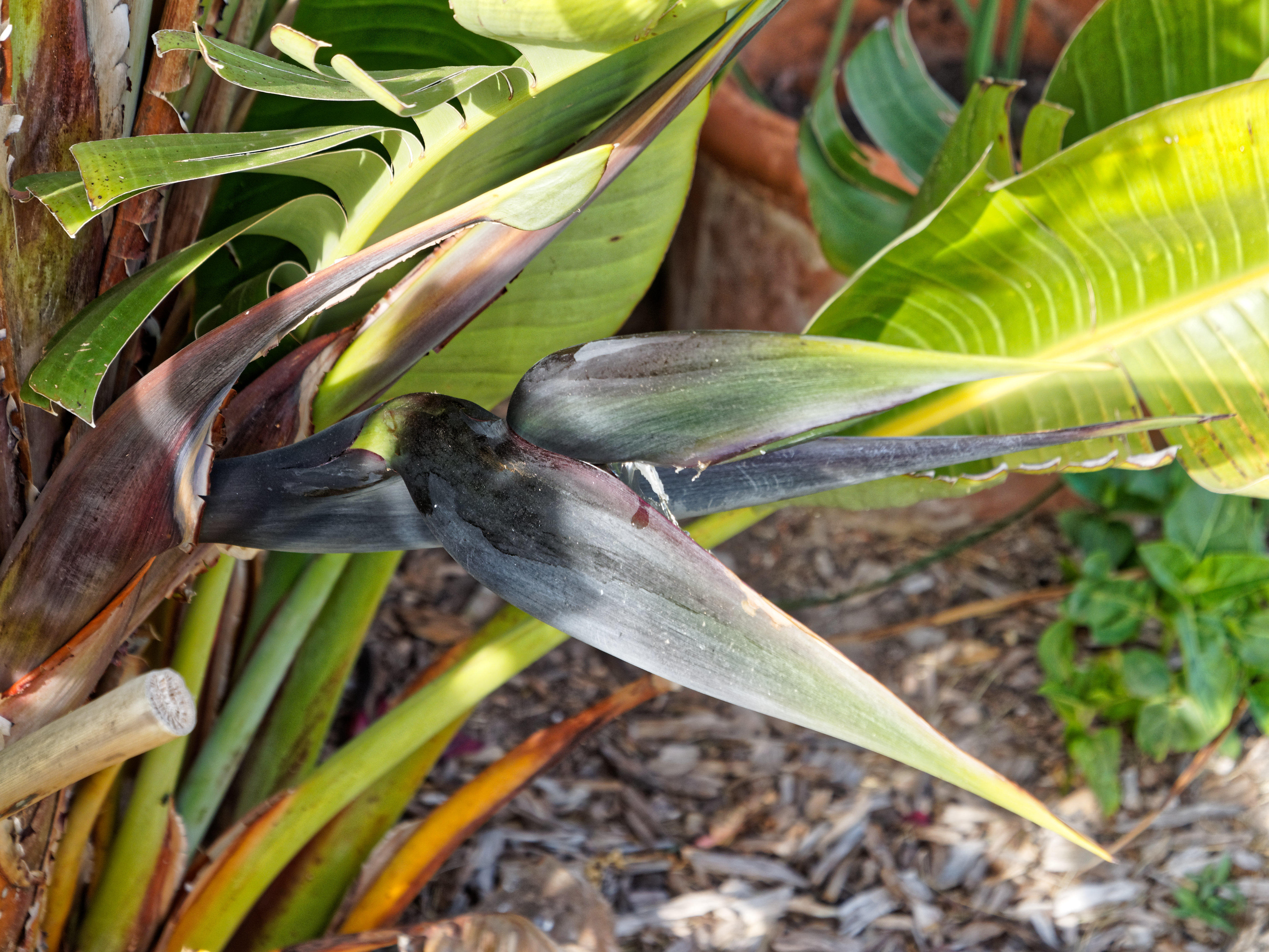 This should be Strelitzia-nicolai-1.jpeg.  Is it missing?