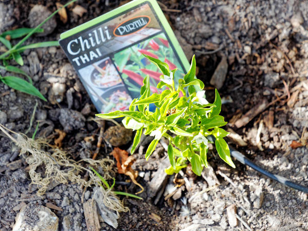 Chili-plant.jpeg