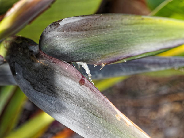 Strelitzia-nicolai-2.jpeg