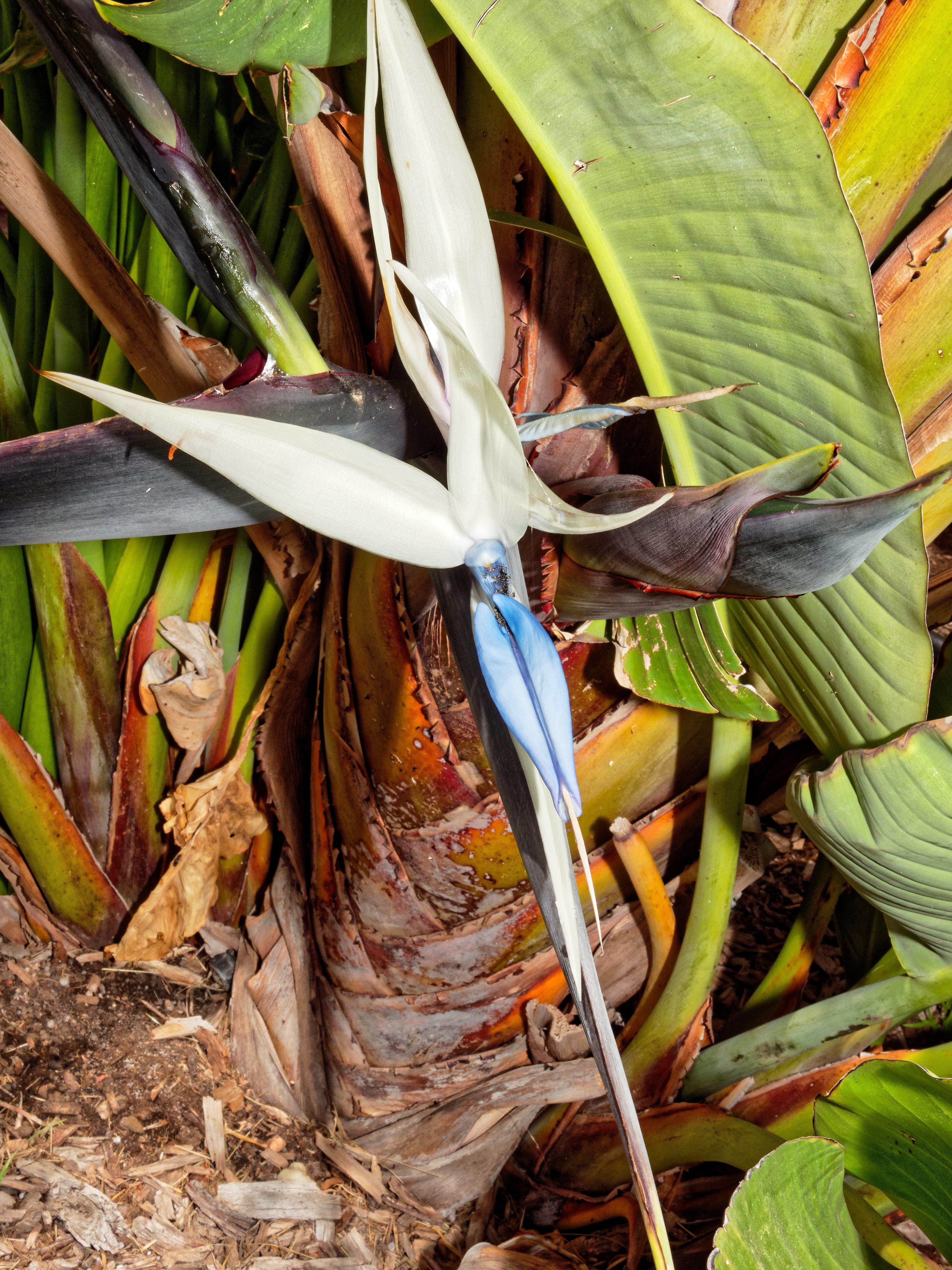 This should be Strelitzia-nicolai-4.jpeg.  Is it missing?