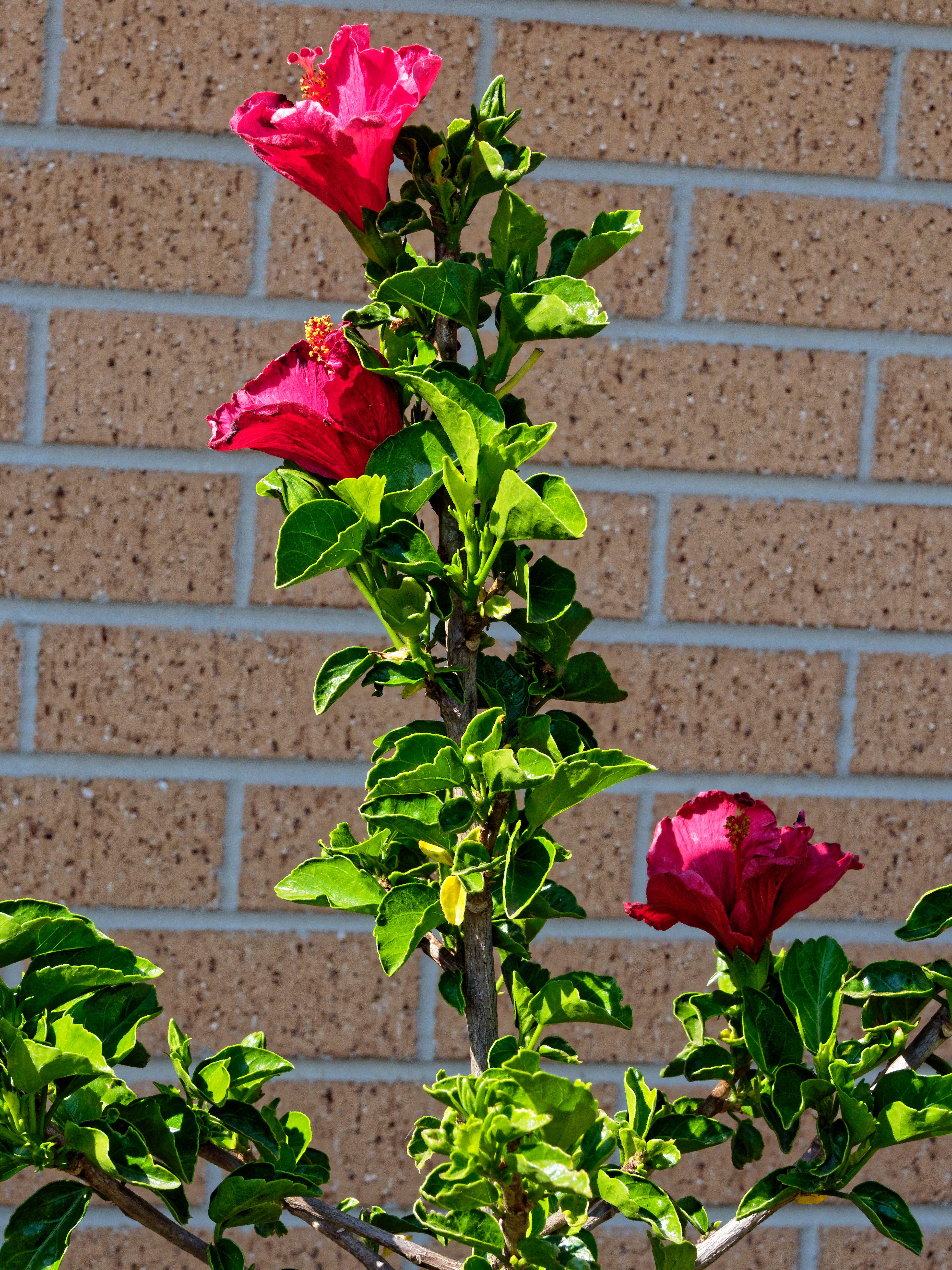 This should be Hibiscus-rosa-sinensis-1.jpeg.  Is it missing?