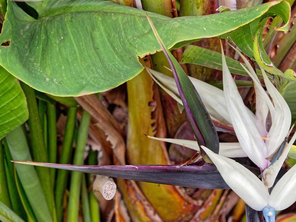 Strelitzia-nicolai-7.jpeg