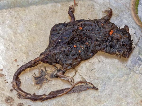 Dead-rat-3.jpeg