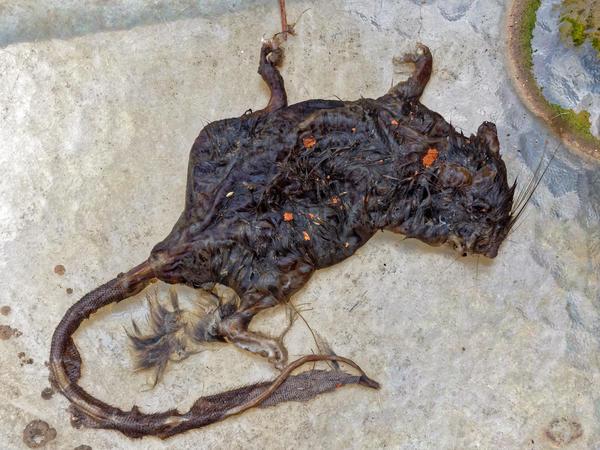 Dead-rat-4.jpeg
