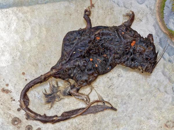 Dead-rat-5.jpeg