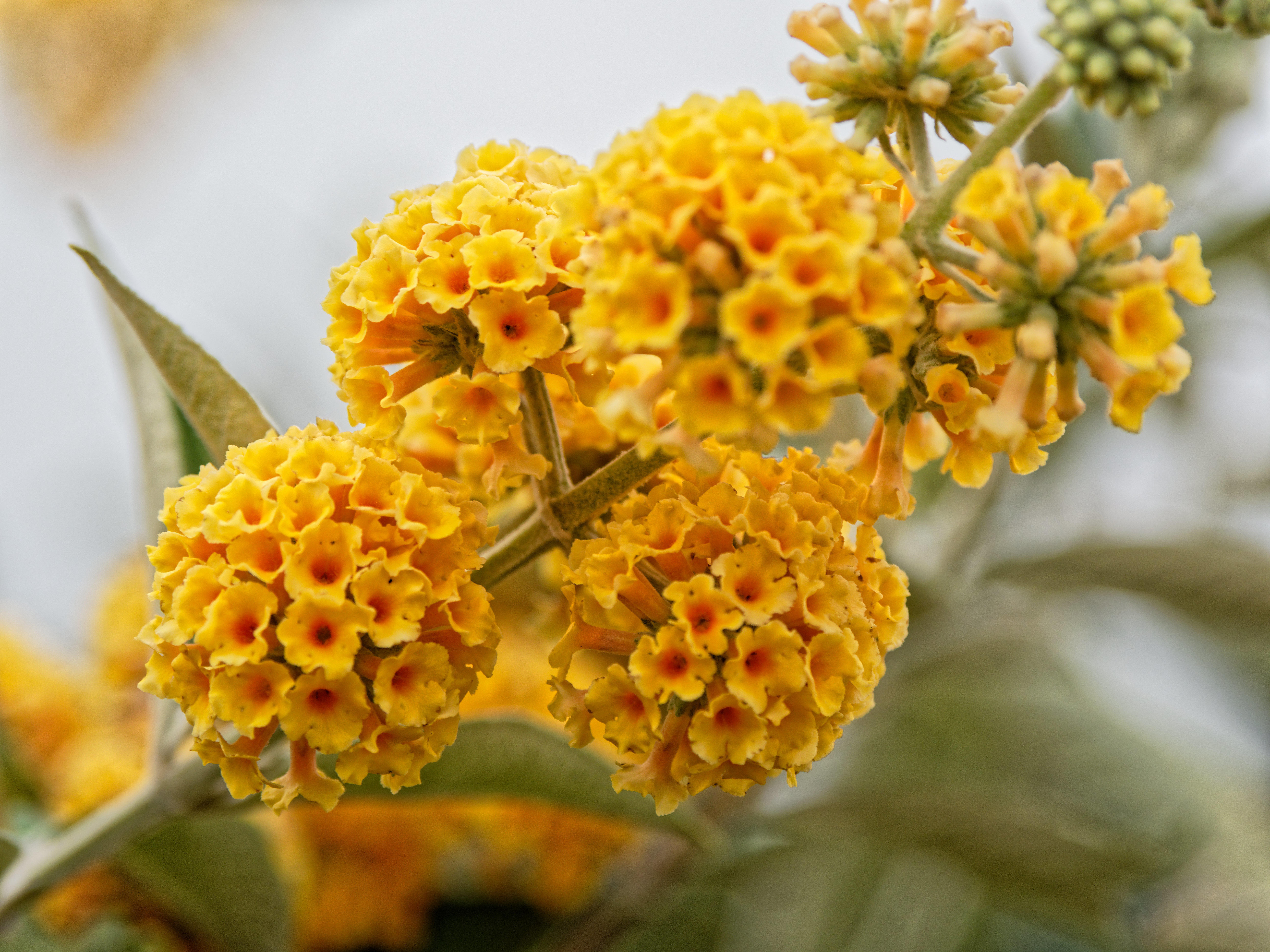 This should be Buddleja-5.jpeg.  Is it missing?
