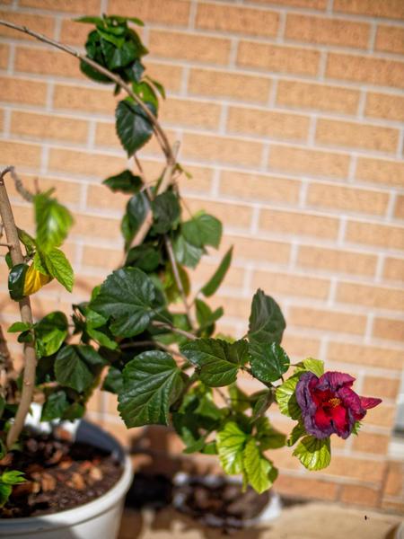 Hibiscus-3.jpeg