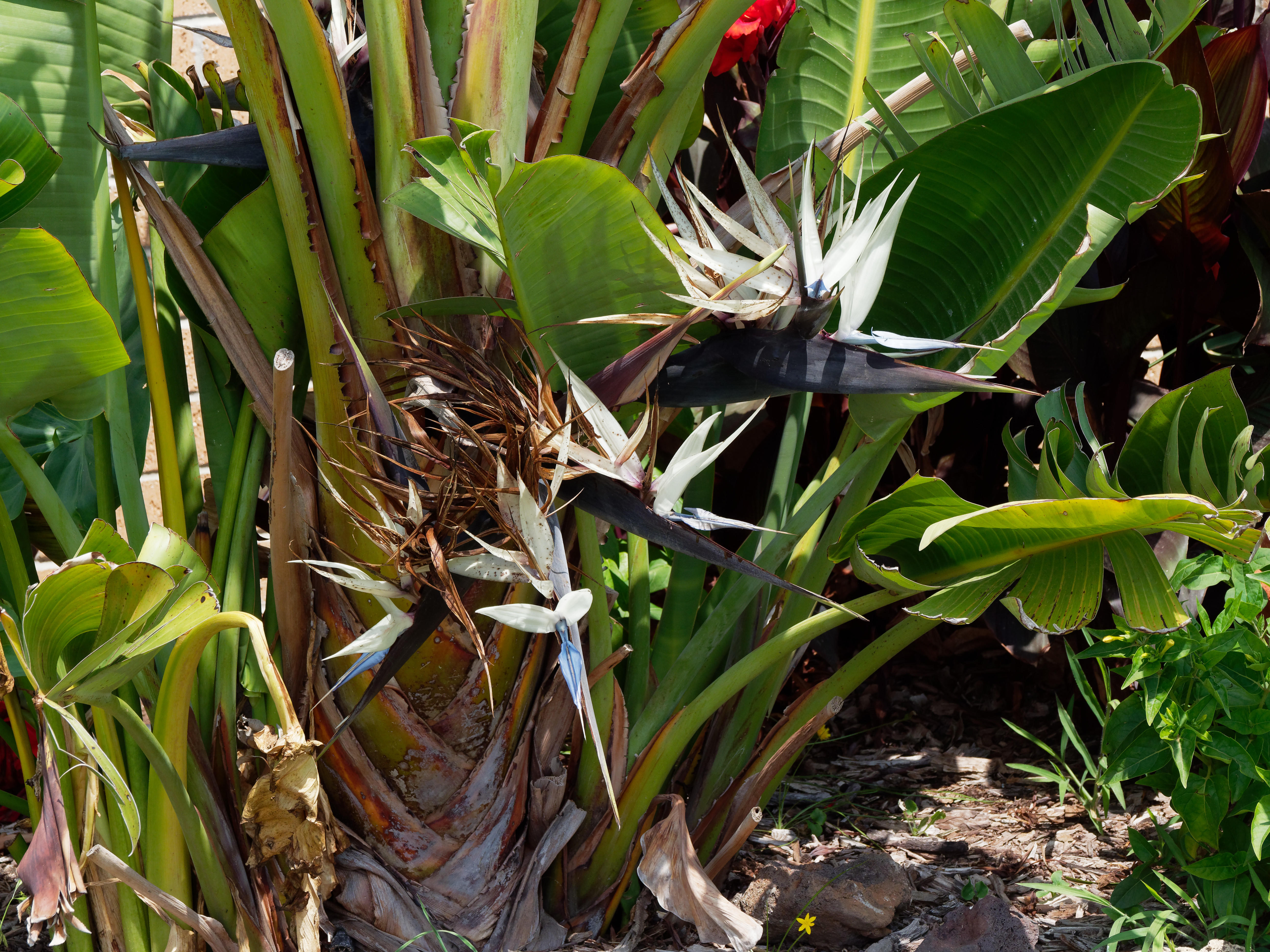 This should be Strelitzia-nicolai.jpeg.  Is it missing?