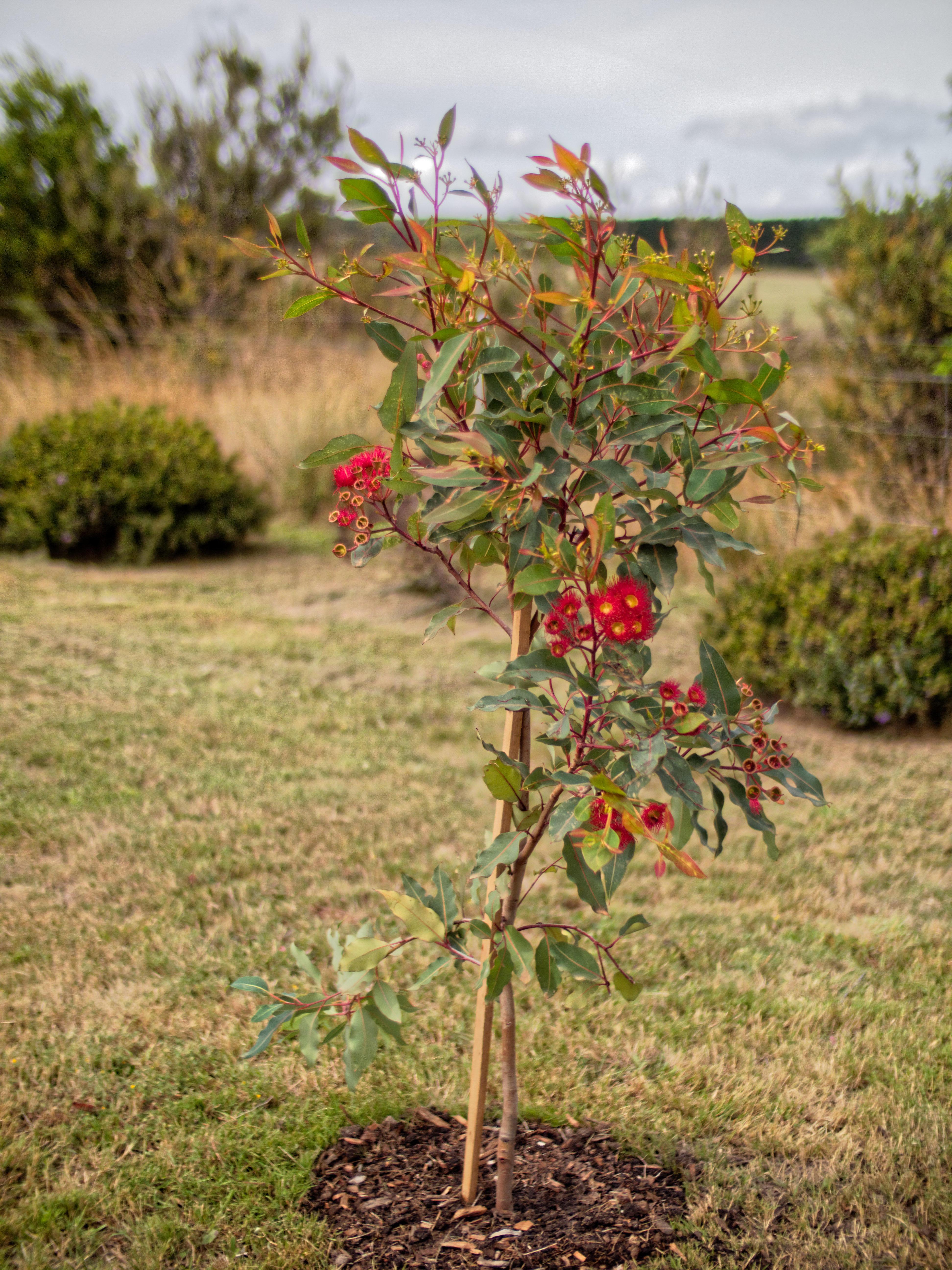 Corymbia-ficifolia-5.jpeg