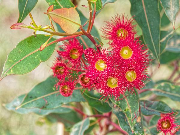 Corymbia-ficifolia-4.jpeg