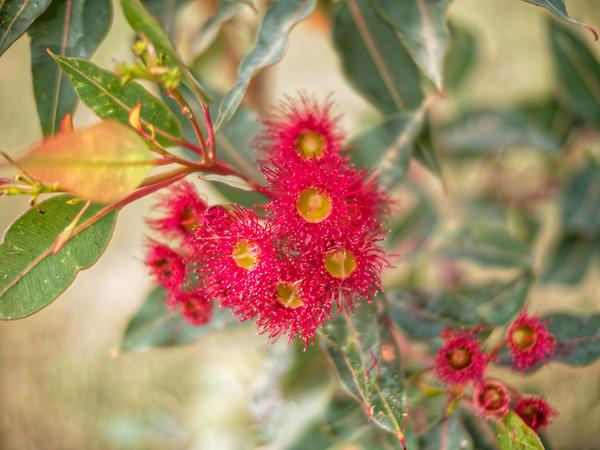 Corymbia-ficifolia-6.jpeg