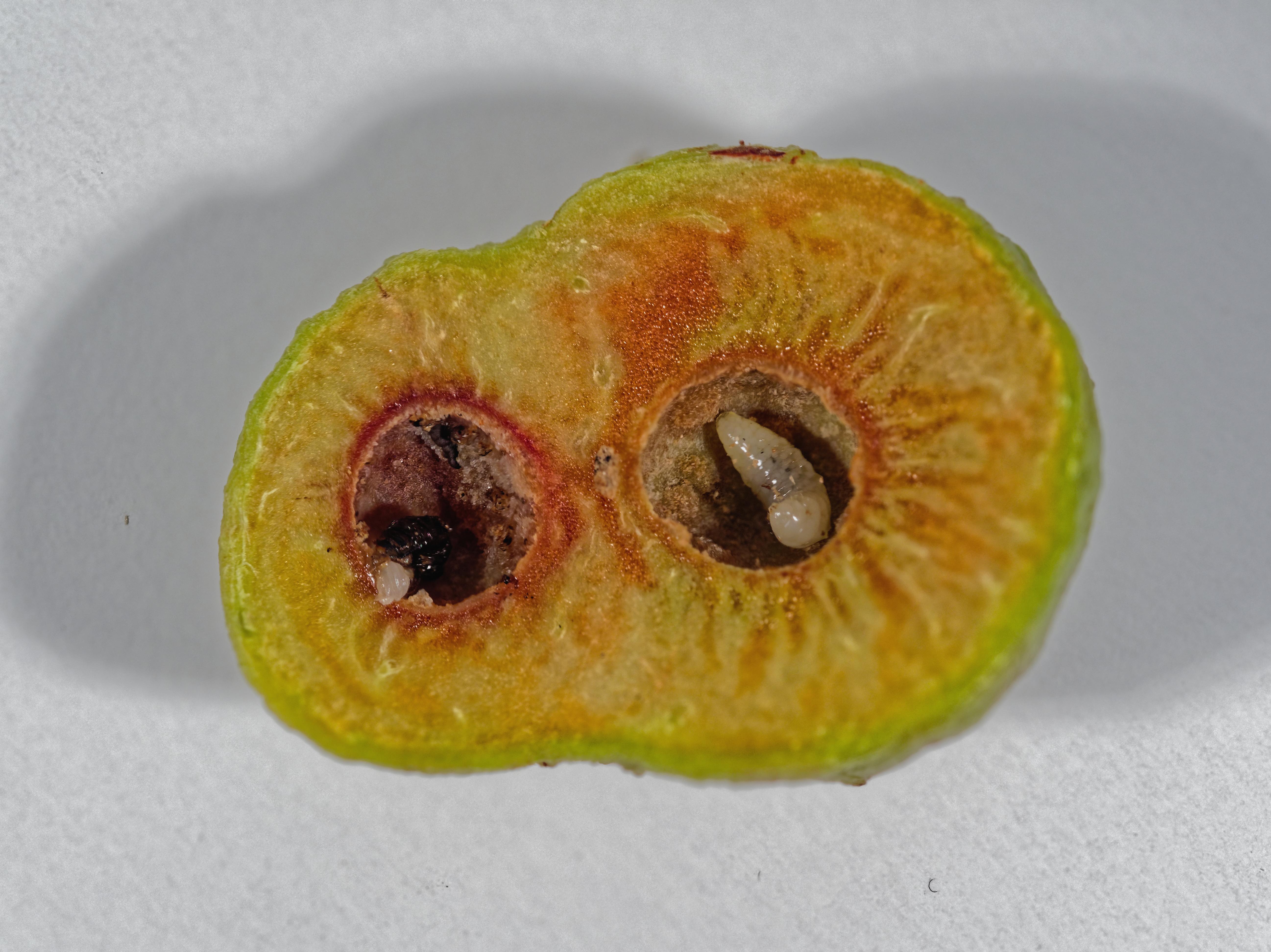 Acacia-gall-1-DMap.jpeg