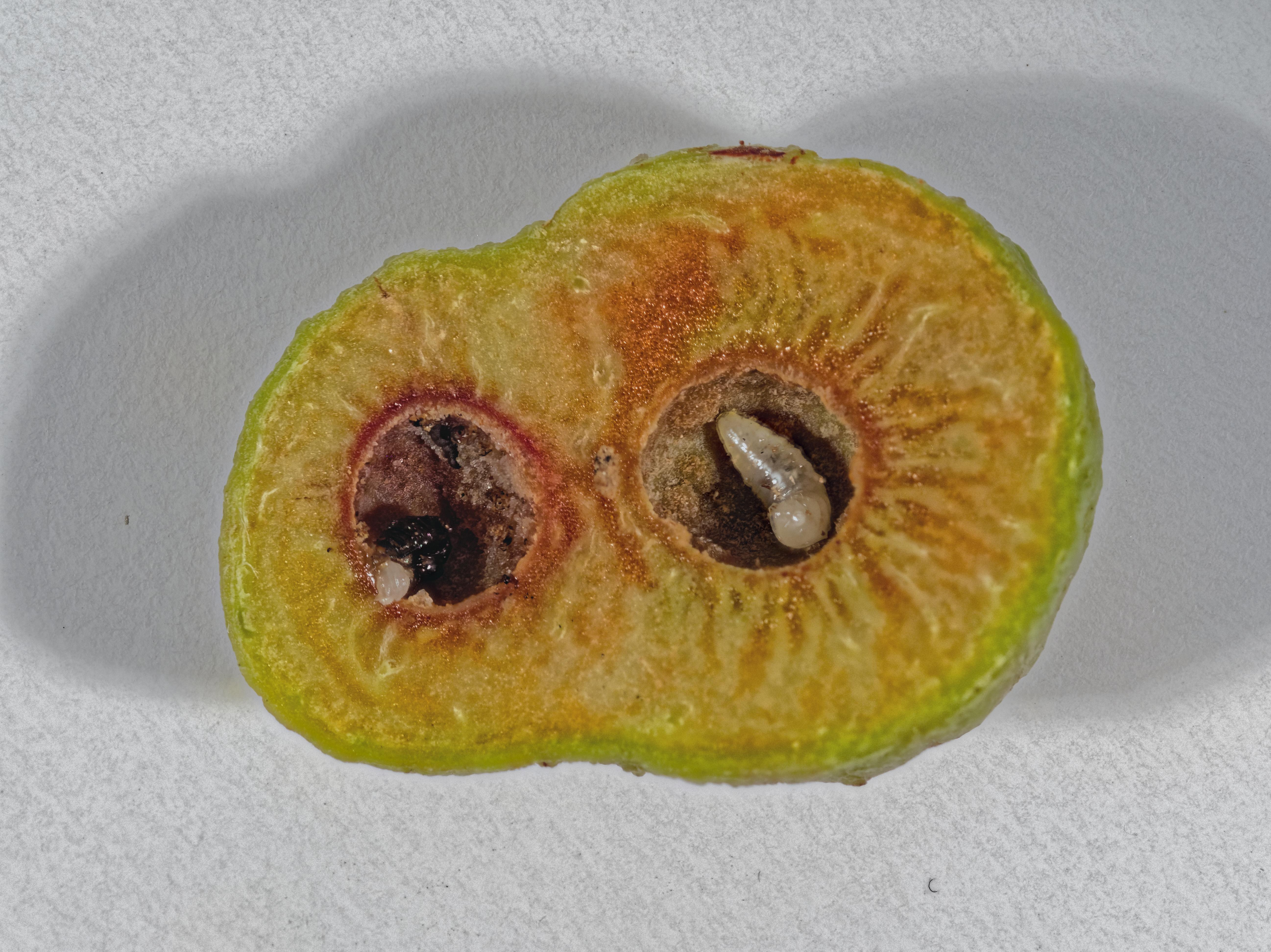 This should be Acacia-gall-1-PMax.jpeg.  Is it missing?