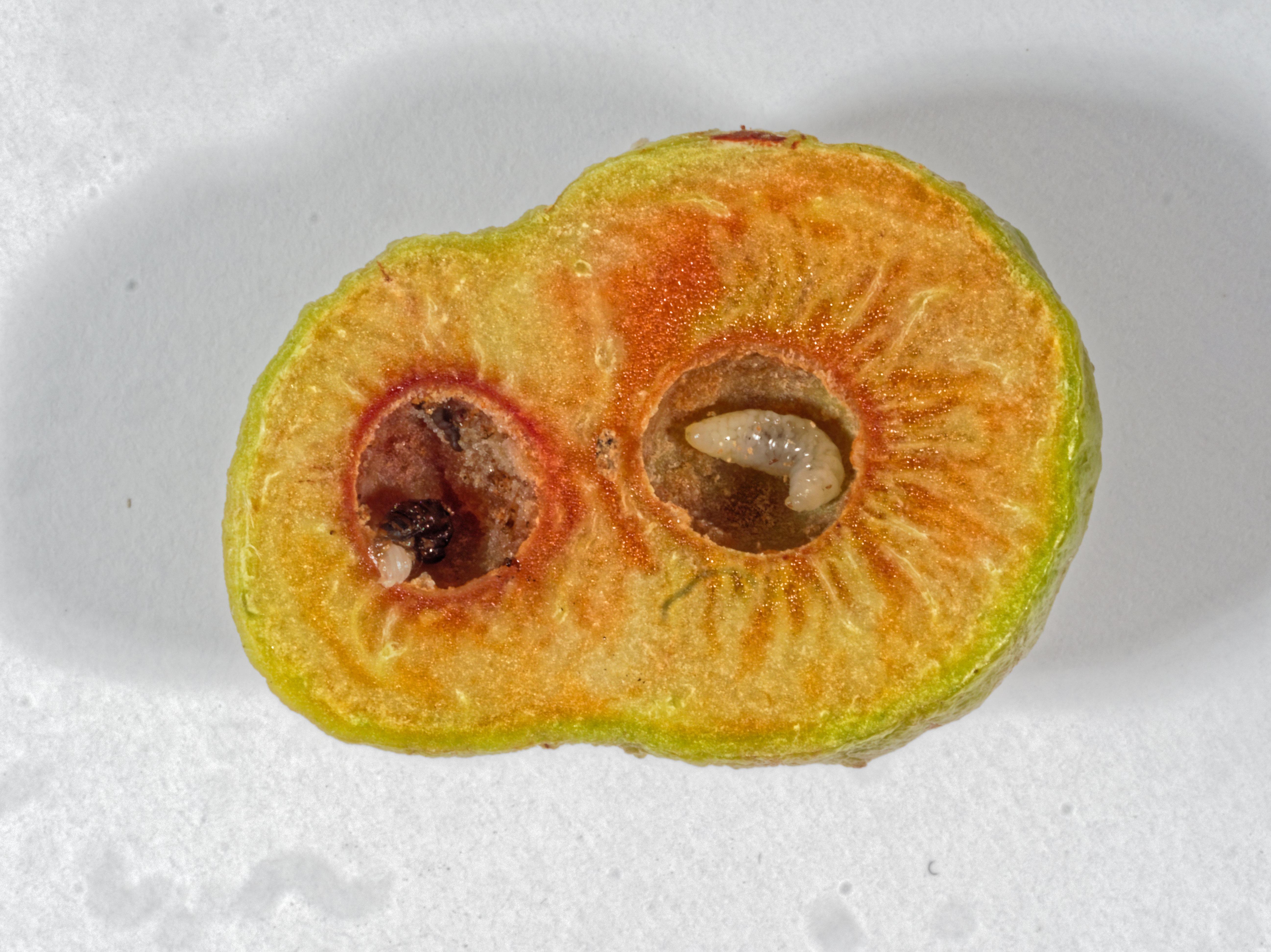 Acacia-gall-2.jpeg