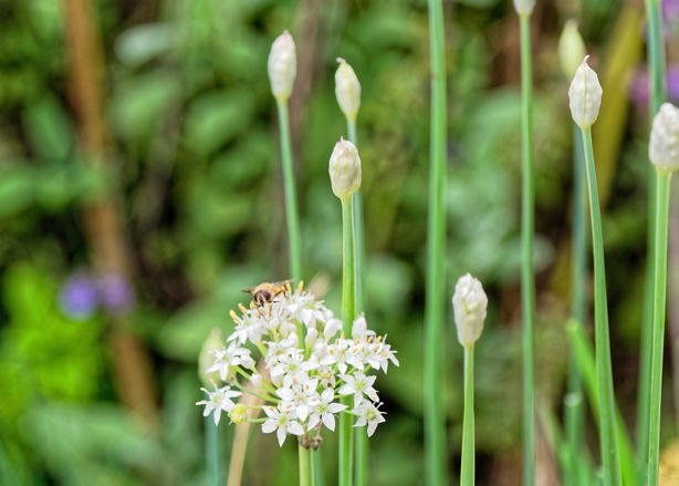 Garlic-chive-flowers.jpeg