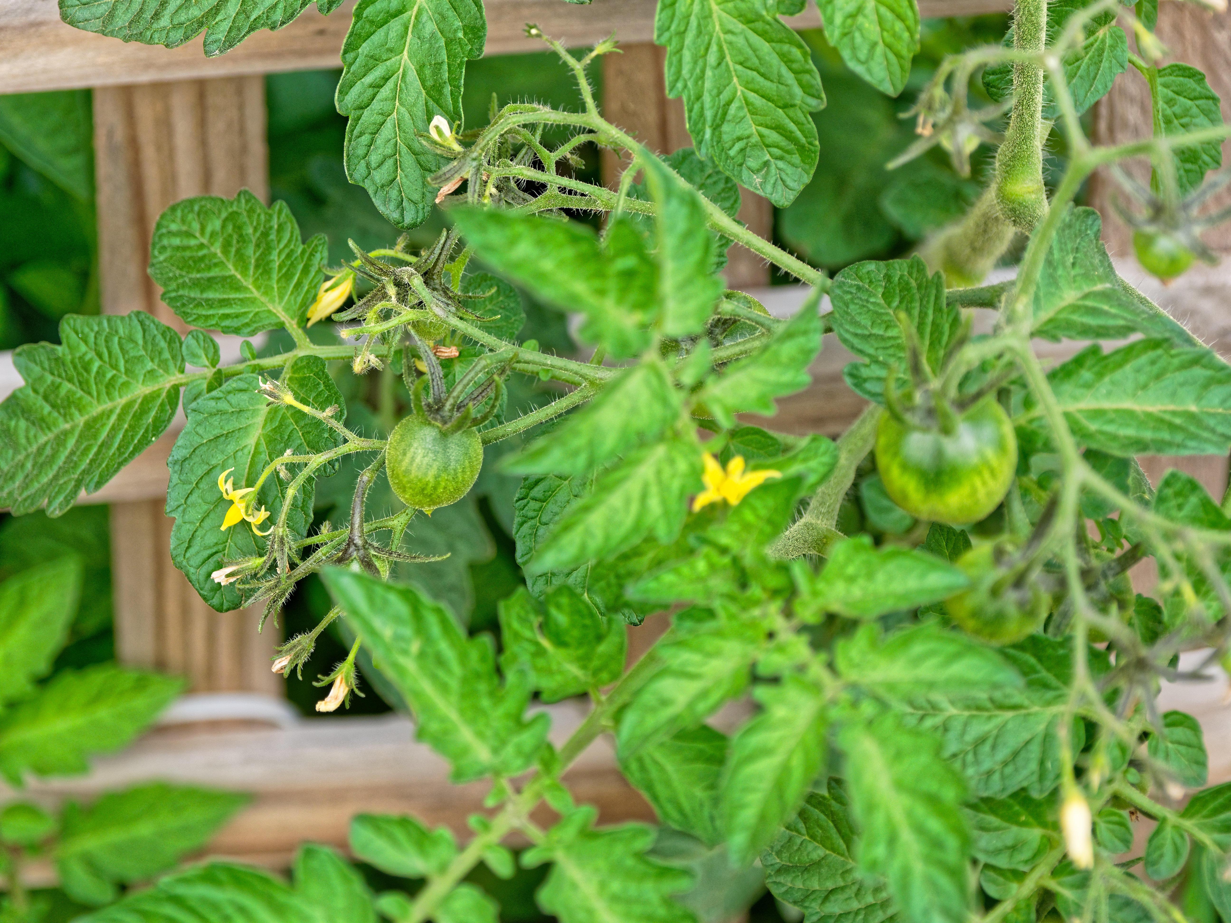 Tomato-2.jpeg