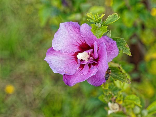 Hibiscus-syriacus-5.jpeg