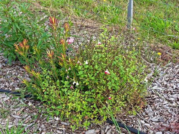 Leucospermum-sage-1.jpeg