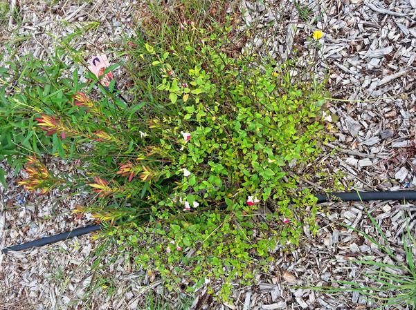Leucospermum-sage-2.jpeg