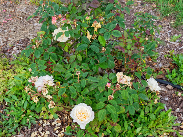 Roses-6.jpeg