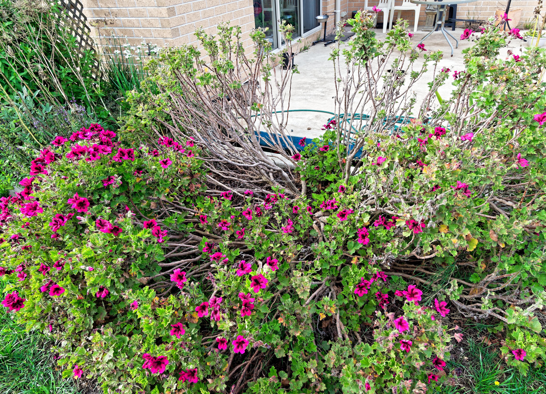Pelargonium.jpeg