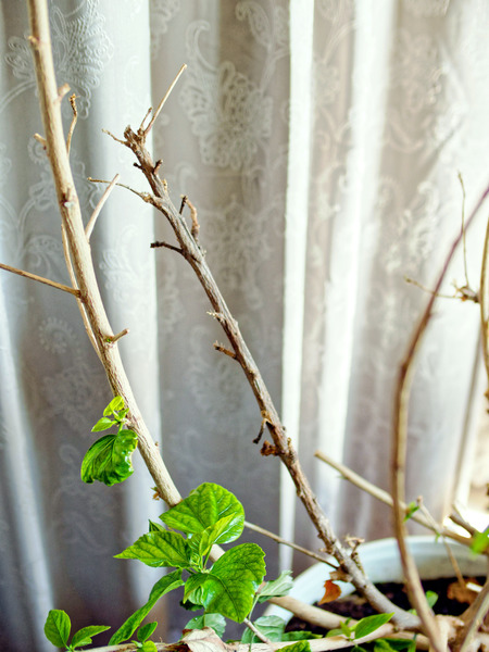 Hibiscus-rosa-sinensis-4.jpeg
