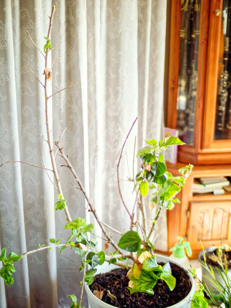 Hibiscus-rosa-sinensis-6.jpeg