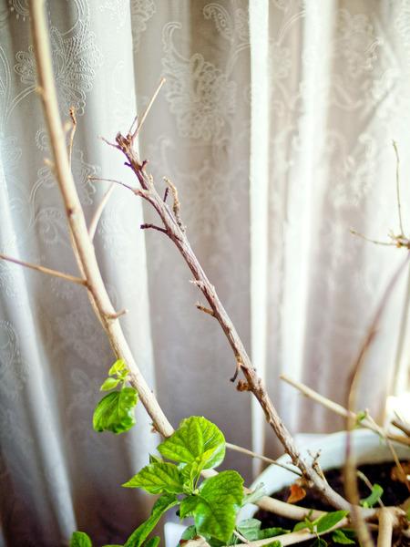 Hibiscus-rosa-sinensis-7.jpeg