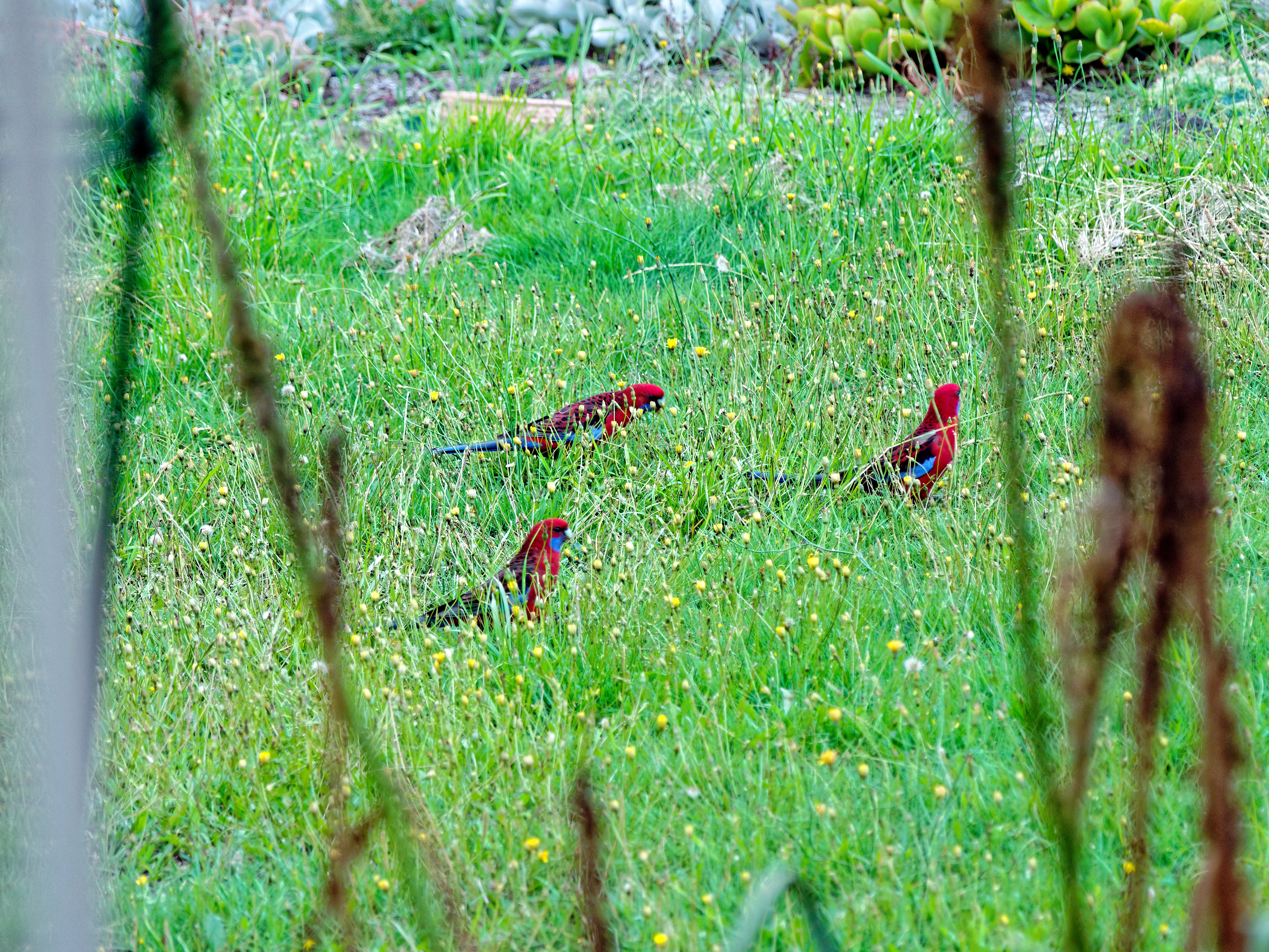 Rosellas-1.jpeg