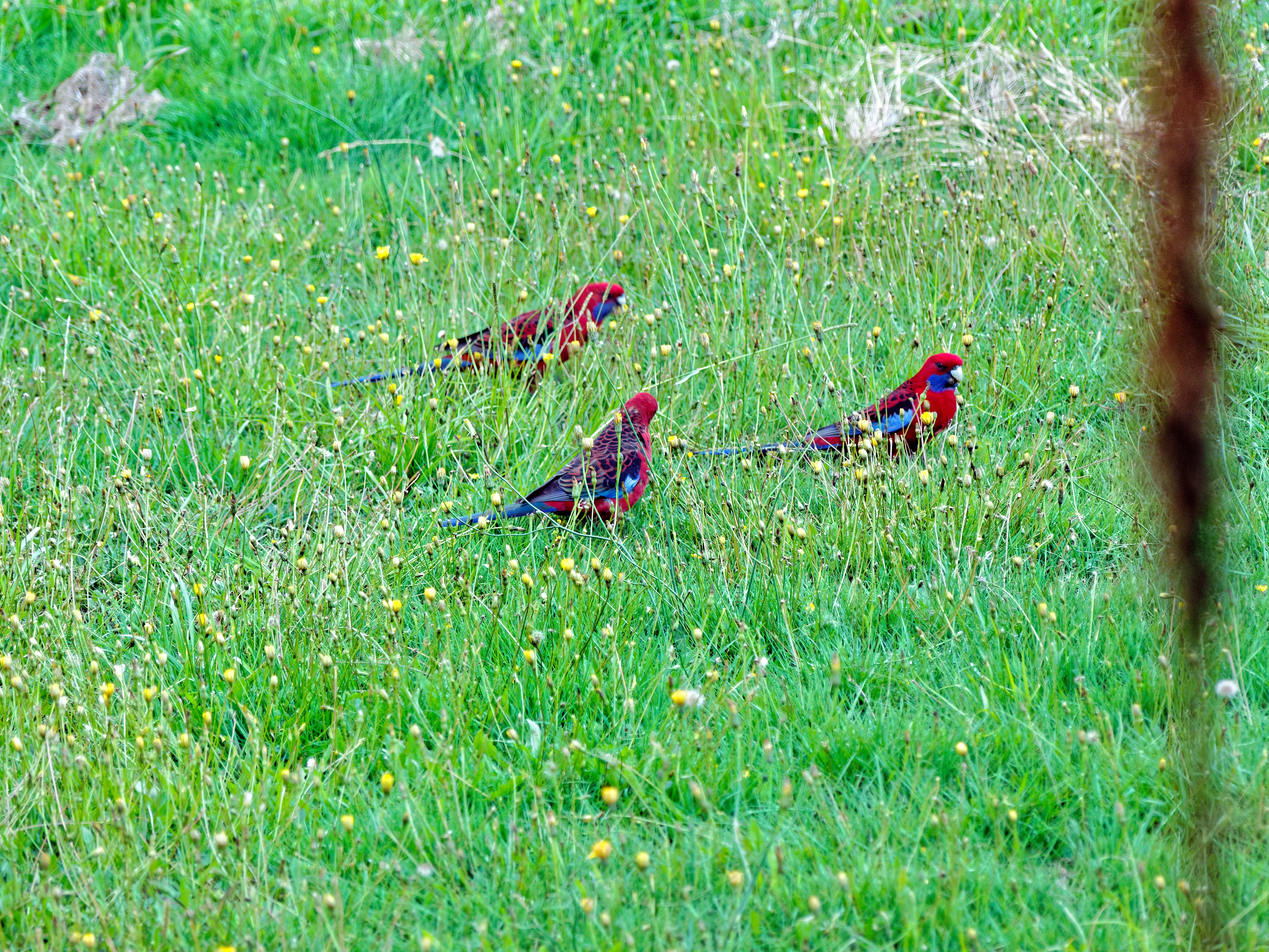 Rosellas-5.jpeg