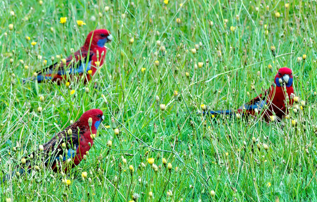 Rosellas-2-detail.jpeg
