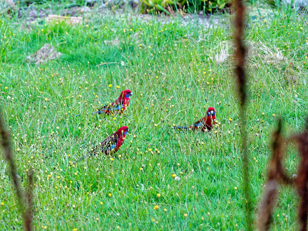 Rosellas-2.jpeg