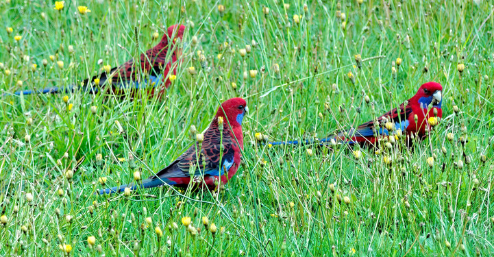 Rosellas-3-detail.jpeg