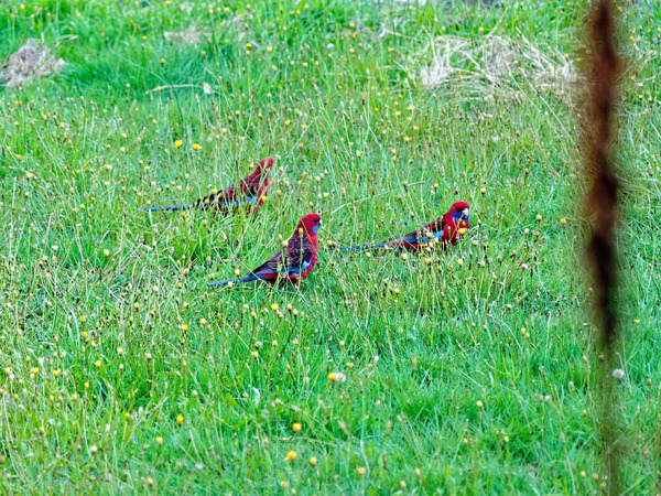 Rosellas-3.jpeg