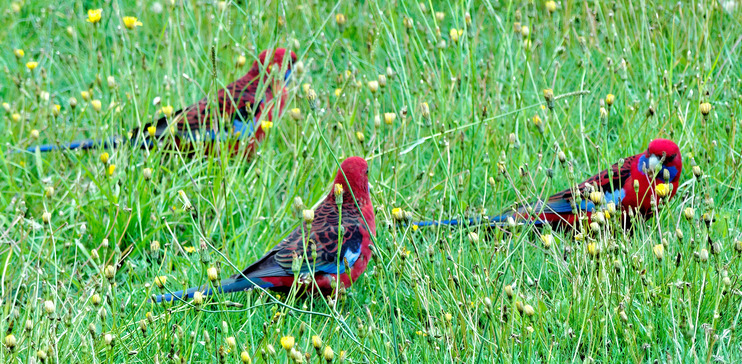 Rosellas-4-detail.jpeg