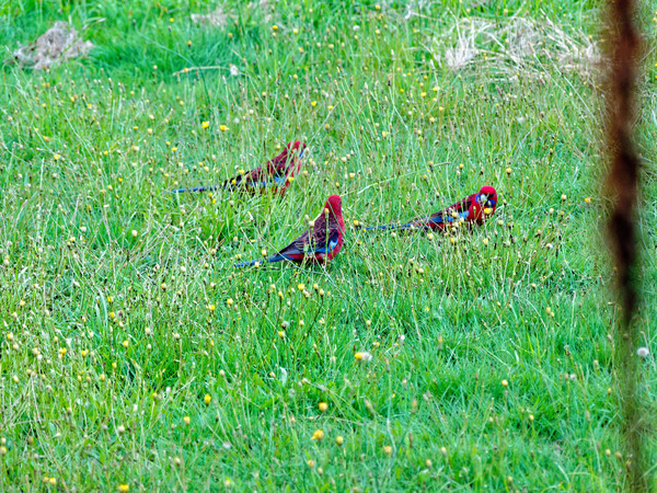 Rosellas-4.jpeg