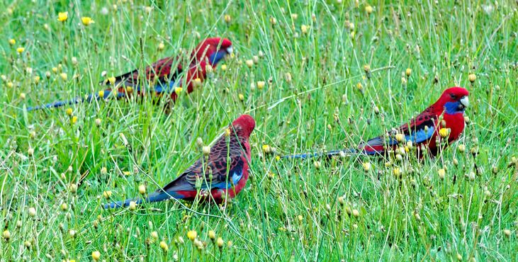 Rosellas-5-detail.jpeg