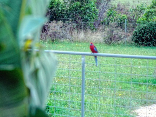 Rosellas-7.jpeg