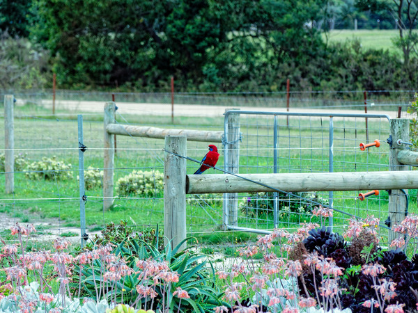 Rosellas-8.jpeg