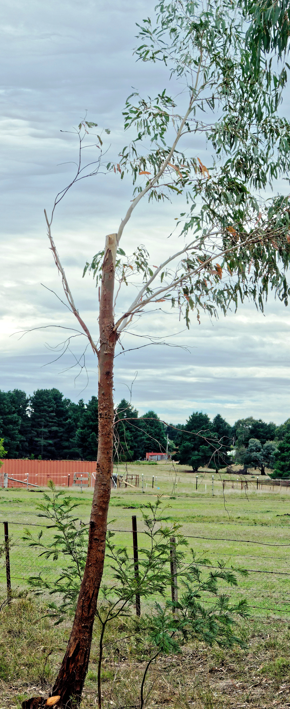 Mutilated-tree.jpeg