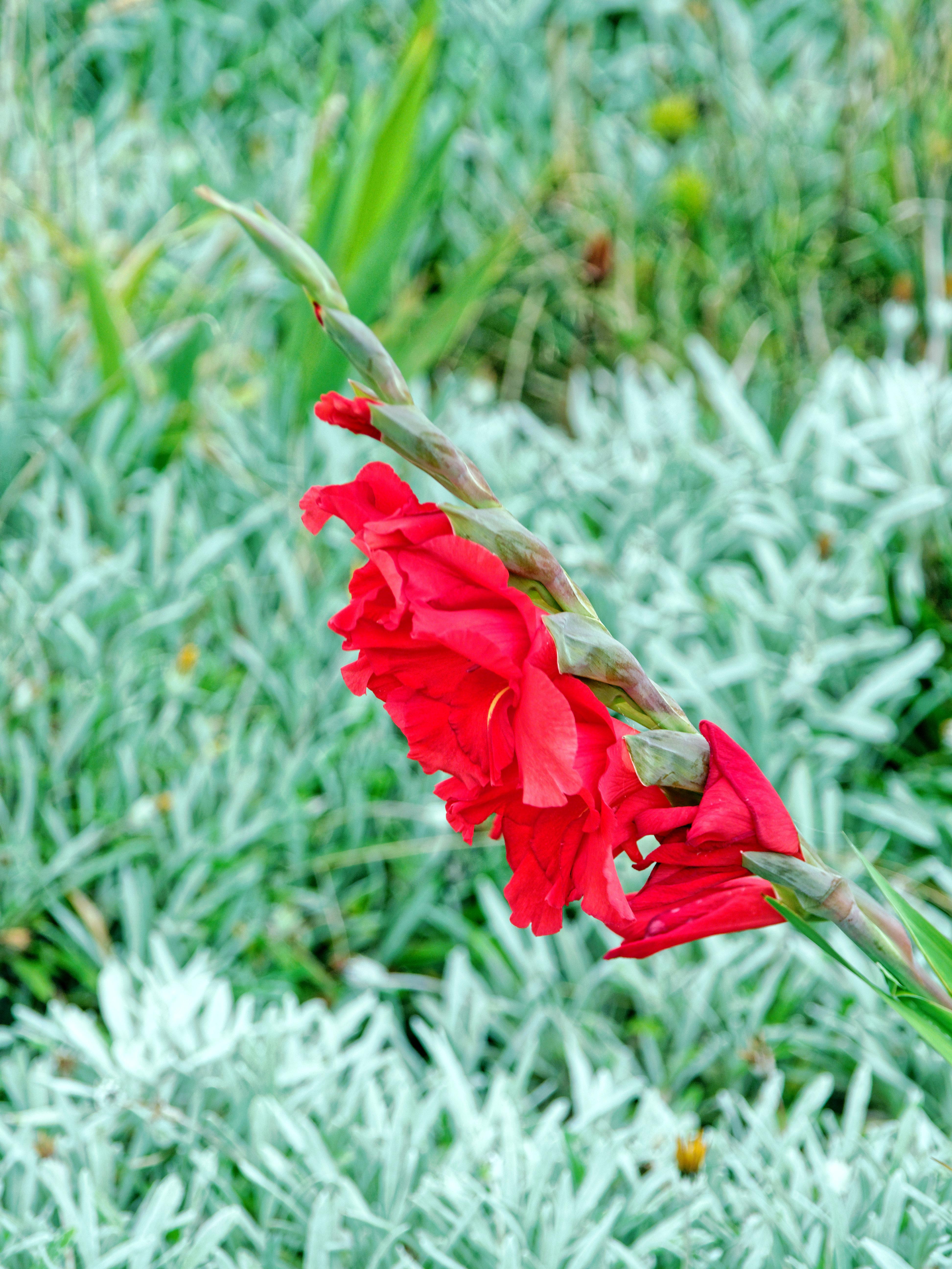 Gladiolus-3.jpeg