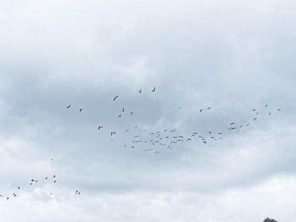 Black-cockatoos-10.jpeg