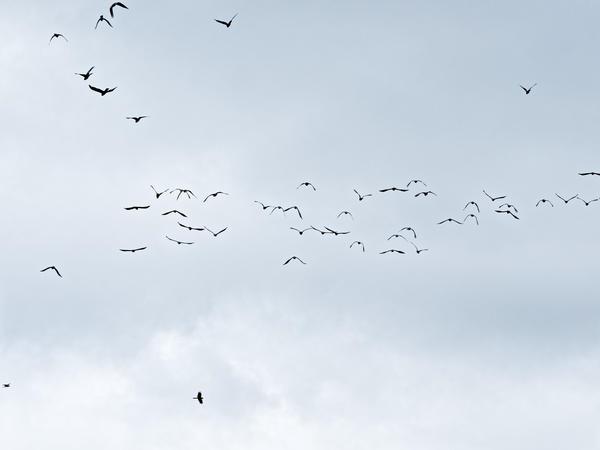Black-cockatoos-11.jpeg