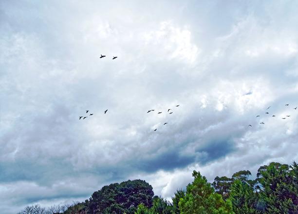 Black-cockatoos-2.jpeg