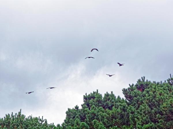 Black-cockatoos-3.jpeg
