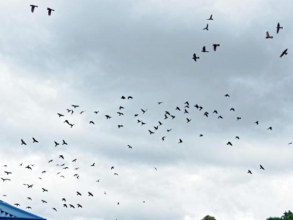 Black-cockatoos-6.jpeg