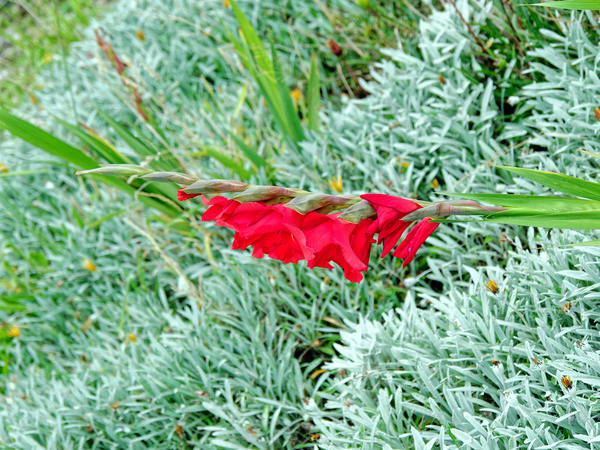 Gladiolus-4.jpeg