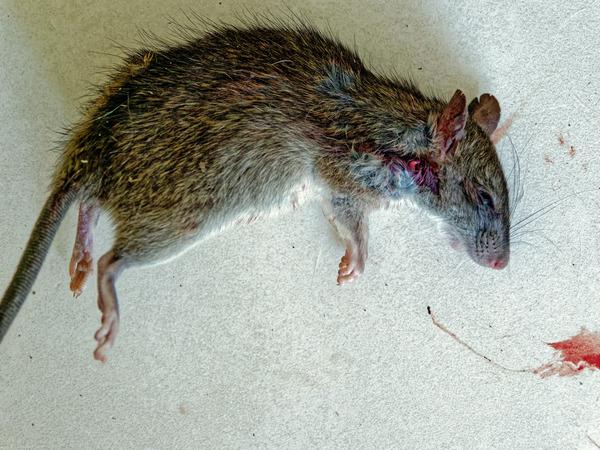 Rat-5.jpeg