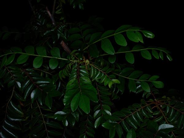 Curry-tree-leaves-11.jpeg